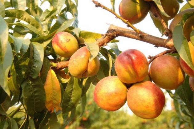 Россия приостановила ввоз фруктов из КНР