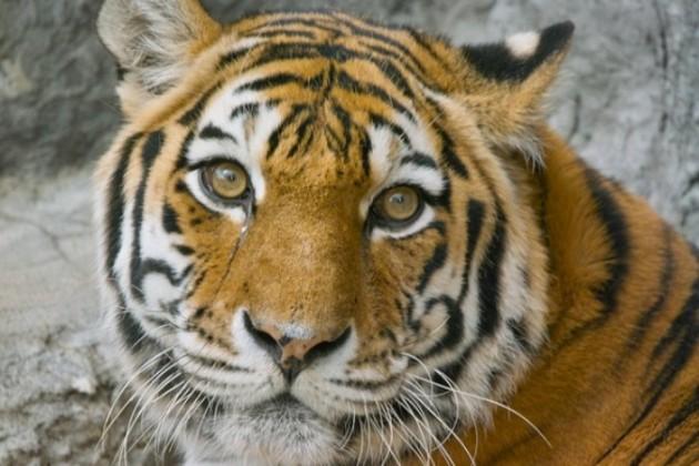 Вскрытие показало от чего пала тигрица Куралай