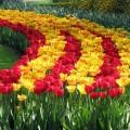 ВШымкенте высадили более миллиона тюльпанов