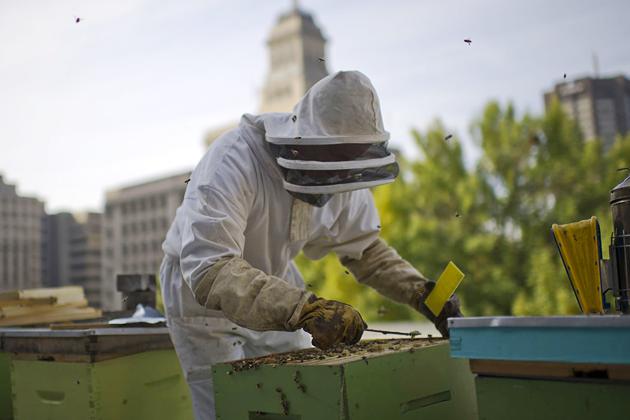 Городское пчеловодство: условия лучше, мед вкуснее
