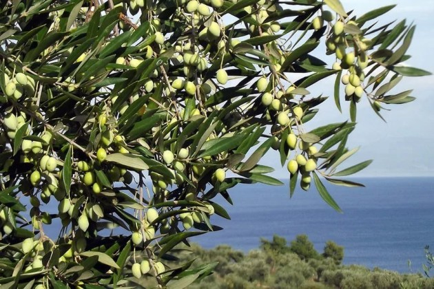 Оливковые деревья посадят в Туркестанской области